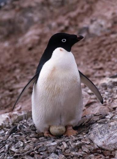 Adelie Penguin Holding Egg : Stock Photo