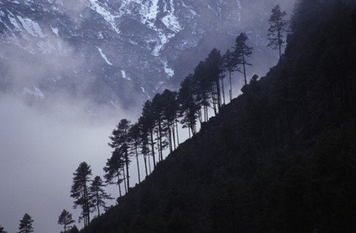 Row of coniferous trees on mountainside : Stock Photo