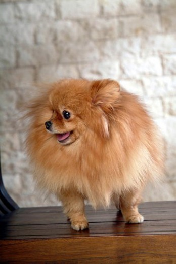 Stock Photo: 4029R-270957 faithful, domestic animal, companion, canine, close up, pomeranian