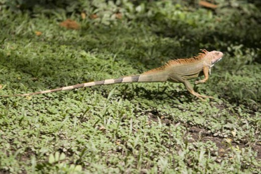 iguana reptile running for safety : Stock Photo