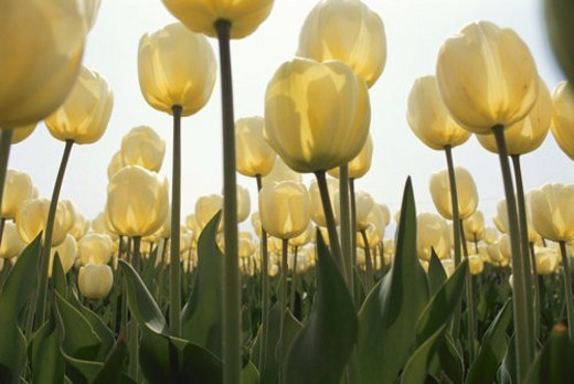 Stock Photo: 4029R-272821 A Yellow Tulip