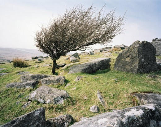 Stock Photo: 4029R-274854 Windblown tree on rocky hillside, Bodmin Moor, Cornwall, UK