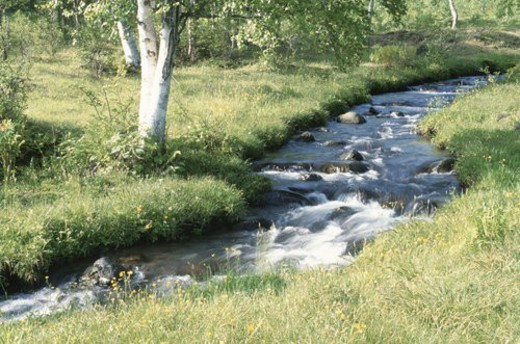 A White Birch And A Mountain Stream : Stock Photo