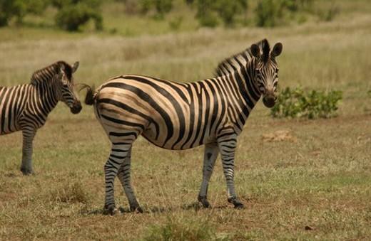 Stock Photo: 4029R-27933 Kruger National Park, South Africa - Zebra