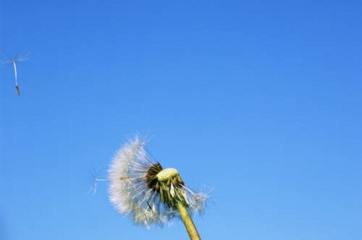 Dandelion clock with seedlings flying away in the wind : Stock Photo