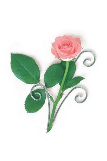 flower, rose, leaf, plant, pink : Stock Photo