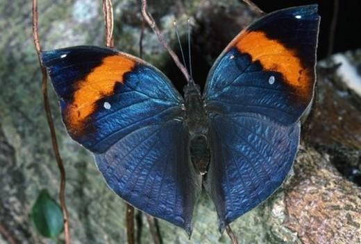 Dead Leaf butterfly : Stock Photo