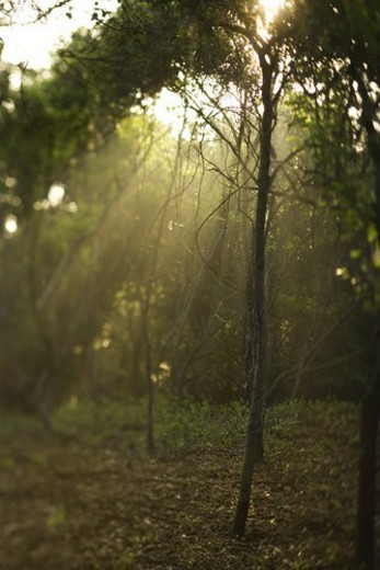 Rays of light shining through a forest. : Stock Photo