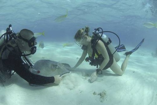 Diver with Sting rays, Stingray City Sandbar, Grand Cayman Island, Cayman Islands, Caribbean : Stock Photo