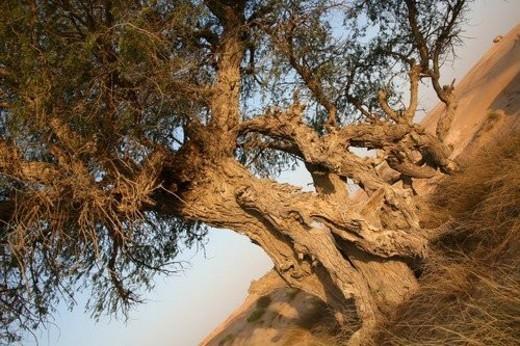 Stock Photo: 4029R-284743 oman, tree, desert