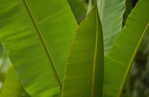 Close-up of broad leaves of a tropical plant : Stock Photo
