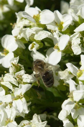 blooms, bee wings, bloom dusting, berne, bees, blumenstaengel, animals : Stock Photo
