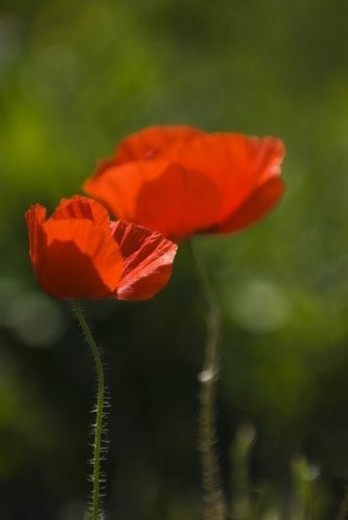 Stock Photo: 4029R-297431 Red poppies blooming