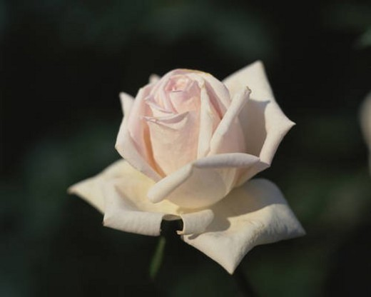 Stock Photo: 4029R-298489 Close up of single rose, Tokyo prefecture, Japan