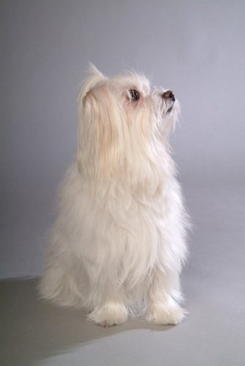 Stock Photo: 4029R-298574 posed, domestic, pose, house pet, canines, posing, maltese