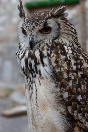 Stock Photo: 4029R-300349 Closeup side view of immature eagle owl