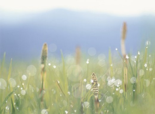 Stock Photo: 4029R-300449 A Field Horsetail And Waterdrop