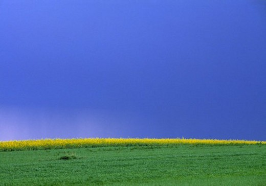 weinviertel, austria, calf, canola field, colour contrast, colza, landscape : Stock Photo