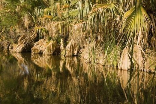 Native California fan palms reflecting on a desert oasis, California, USA : Stock Photo