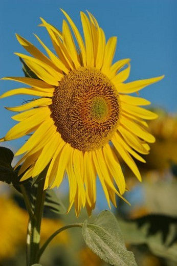 Single sunflower in Umbria, Italy against blue sky : Stock Photo
