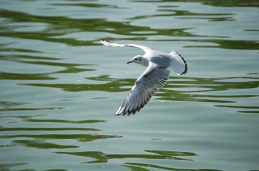 Stock Photo: 4029R-304035 seagull, bird, beach, water, sea