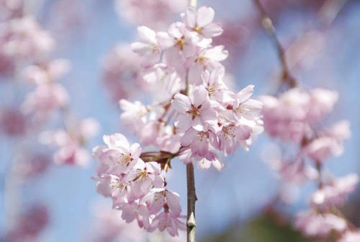 Cherry flowers on branch, close up : Stock Photo