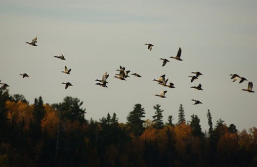 Stock Photo: 4029R-304993 Flock of Waterfowl