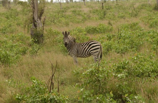 Kruger National Park, South Africa - Zebra : Stock Photo