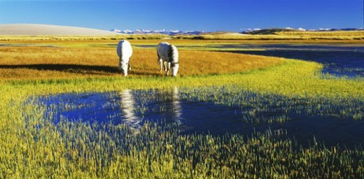 Two horses grazing along lakeside, Tibet : Stock Photo