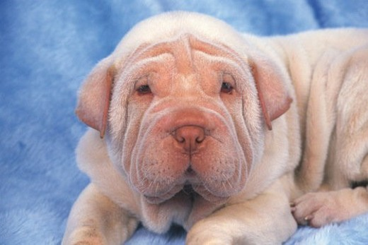 a Shar Pei, Lying on a Blue Blanket, Looking at Camera, Front View : Stock Photo