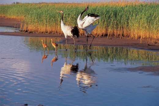 Four red -crowned cranes walking water : Stock Photo