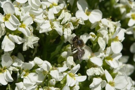 Stock Photo: 4029R-316338 blooms, bee wings, bloom dusting, berne, bees, blumenstaengel, animals
