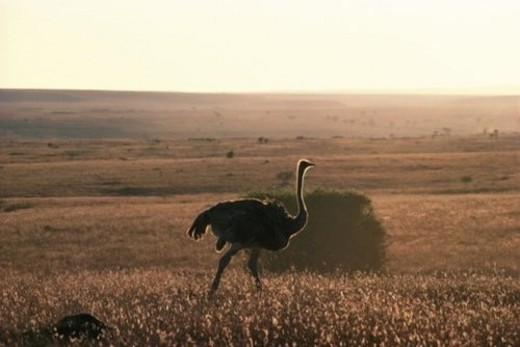 Stock Photo: 4029R-31750 Silhouette of a Ostrich, Side View