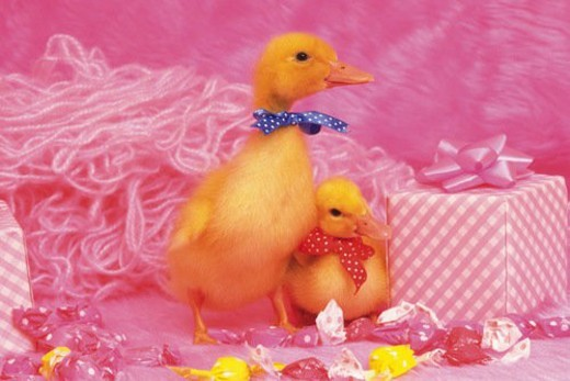 Two Ducks Surrounded By a Pink Backround, Including a Wrapped Gift and  Pink Fluffy Blanket, Front View, Side View : Stock Photo