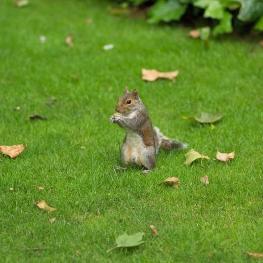 Stock Photo: 4029R-317680 Gray squirrel