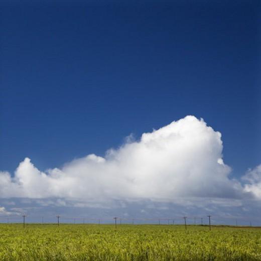 Stock Photo: 4029R-320149 Sugarcane crop field in Maui, Hawaii.