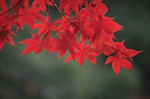 Maple leaves in red, close up, differential focus, Tokyo prefecture, Japan : Stock Photo