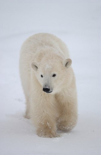 Stock Photo: 4029R-32241 Polar Bears in Churchill Manitoba Canada North