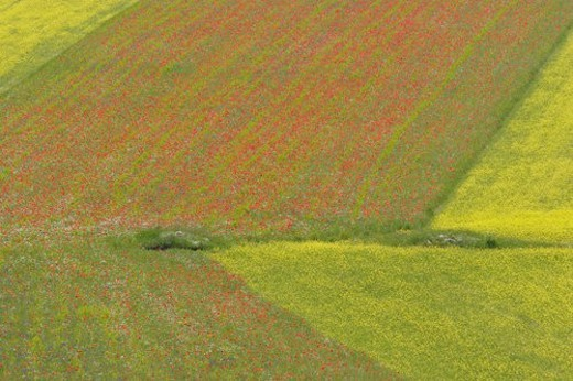 Stock Photo: 4029R-322499 Lentil fields and rapeseed with poppies, Piano Grande, Umbria, Italy