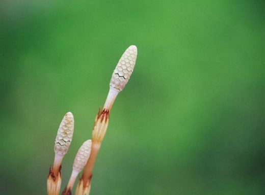 Stock Photo: 4029R-32562 Horsetail