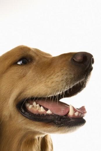 Stock Photo: 4029R-326872 Close up of Golden Retriever dog.