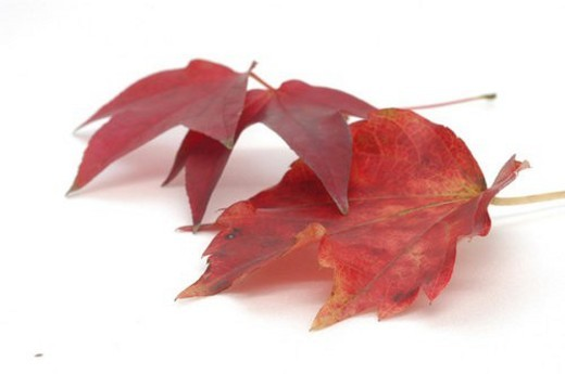 Stock Photo: 4029R-328912 fallenleaves, plant, leaf, wood, tree, plants, maple