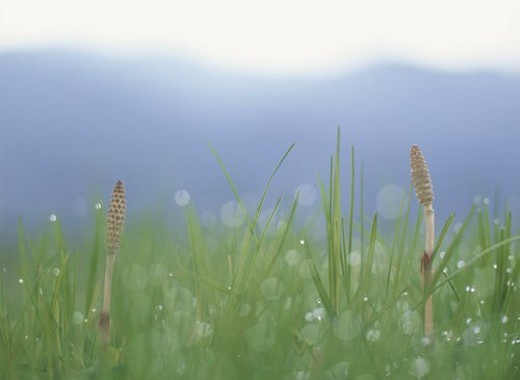 Two Field Horsetails : Stock Photo