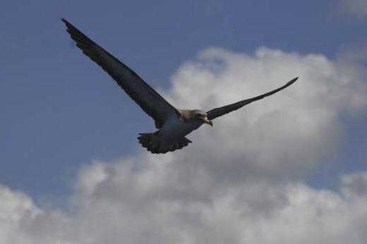 Cory s shearwater, Calonectris diomeda, flying off the Azores : Stock Photo