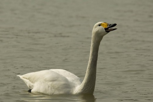 Stock Photo: 4029R-331297 Swan tweeting,swimming in river