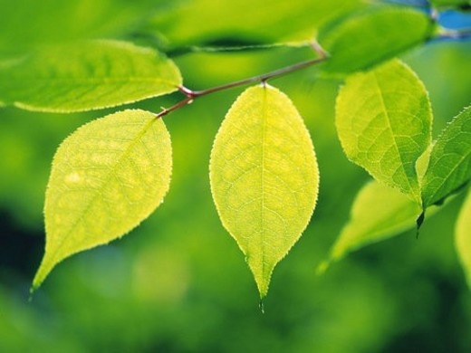 Stock Photo: 4029R-335308 Several Light Green Leaves, Surrounded By a Green Environment, Front View, Differential Focus