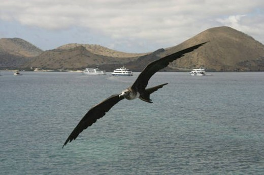 Frigate in flight. Galapagos. : Stock Photo