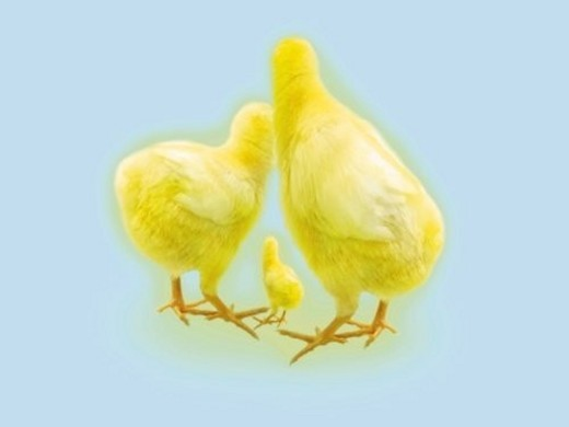 Stock Photo: 4029R-337679 Small, Medium and Big Chicks, Rear View, CG