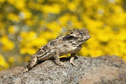 A small coast horned lizard (Phrynosoma coronatum); Riverside County, California, USA : Stock Photo