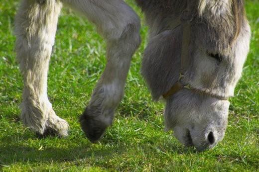 Gray donkey grazing : Stock Photo